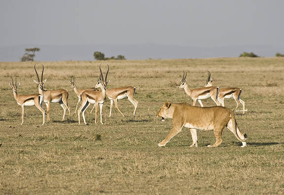 gazelle running from lion - photo #20